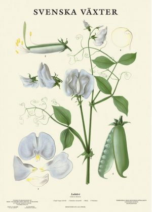 Poster with botanical drawing