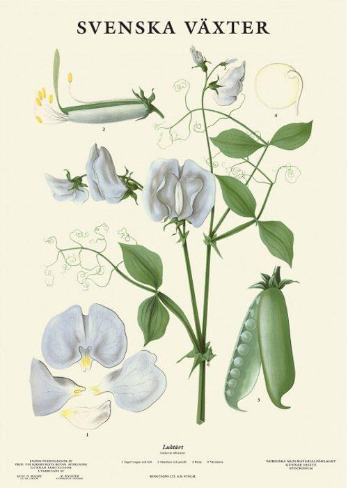 Poster met botanische tekening