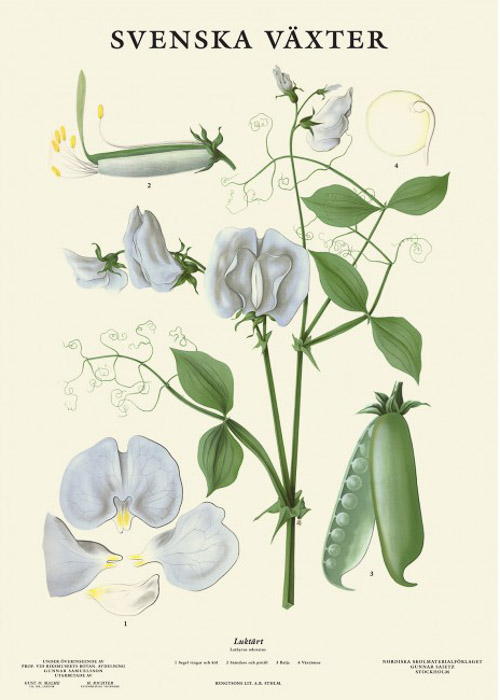 Poster with botanical illustration