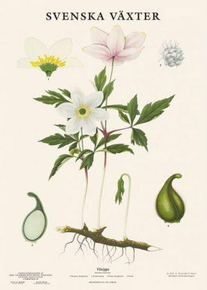 Botanical poster Sweden
