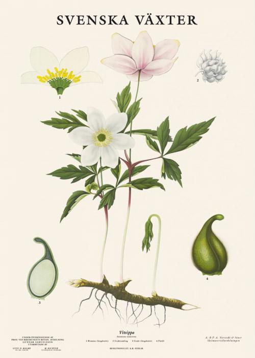 Swedish botanical poster
