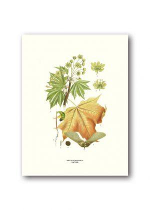 Botanisk affisch lönn