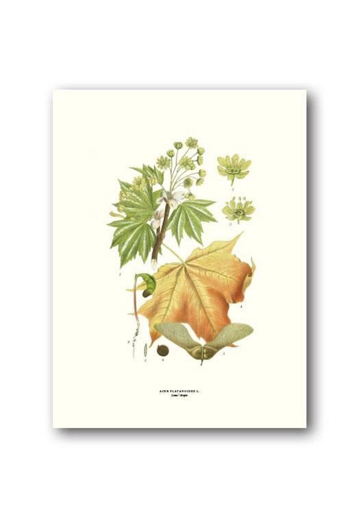 Botanische poster esdoorn