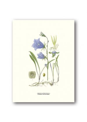 Botanical poster peach leaved bellflower