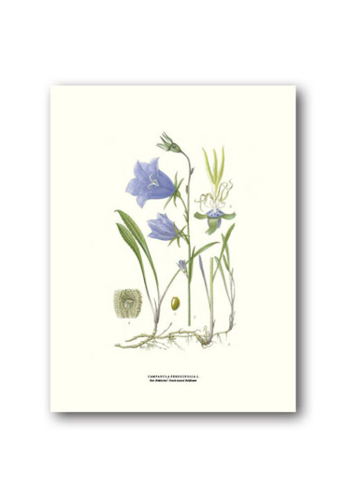 Botanisk affisch blåklocka