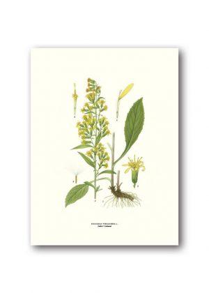 Botanisches Plakat Goldrute