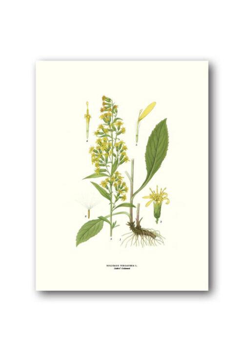 Botanical poster goldenrod