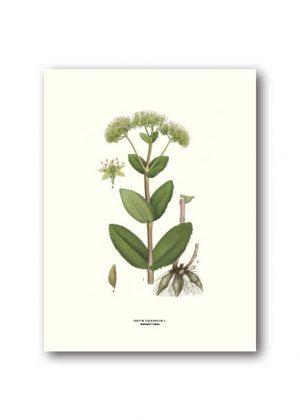 Botanisches Plakat Orpine