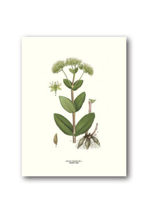 Botanische poster hemelsleutel