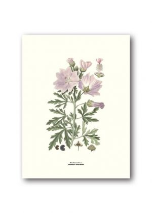 Botanical poster vervain mallow