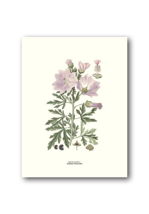 Botanical poster vervain mallow