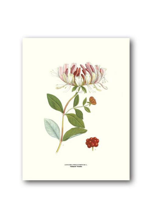 Botanisk affisch vildkaprifol
