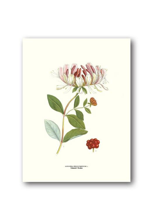 Botanische poster kamperfoelie