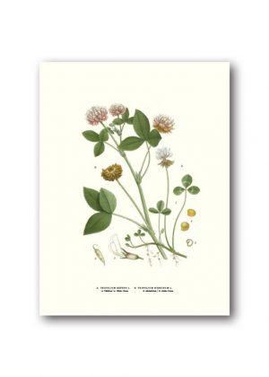 Botanisk affisch klöver