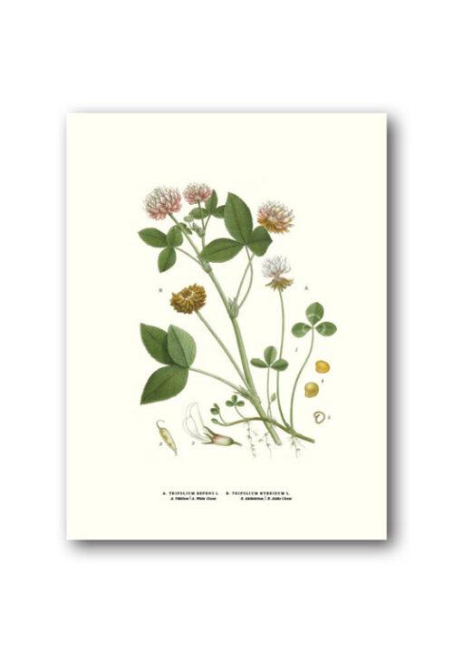 Botanical poster clover