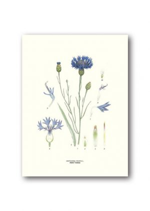 Botanical poster cornflower