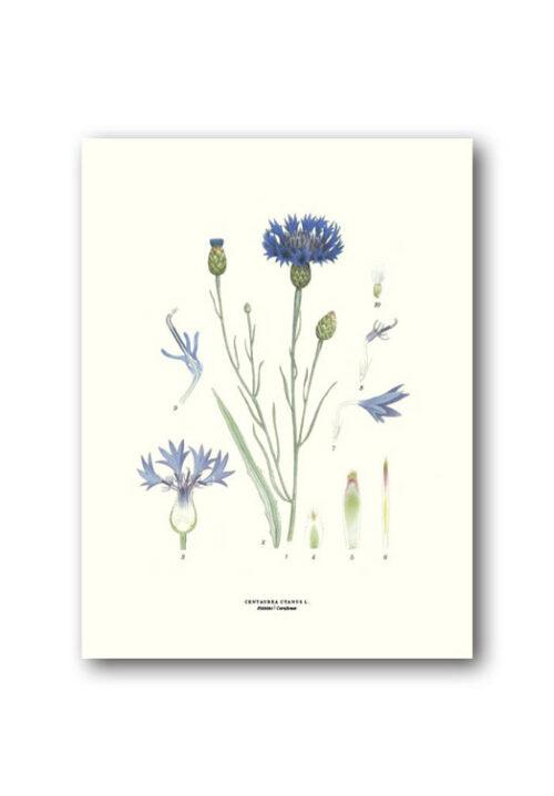 Botanische poster korenbloem