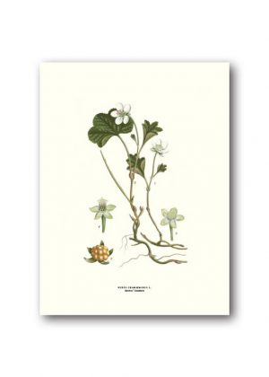 Botanical poster cloudberry