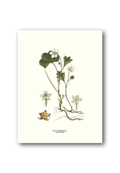 Botanical poster cloudberry