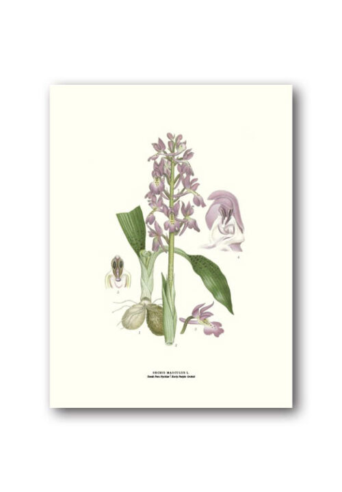 Botanical poster early purple orchid