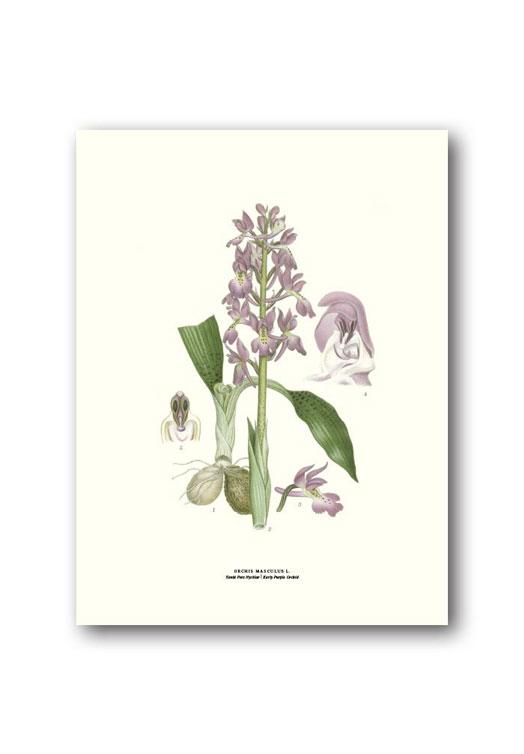 Botanische poster mannetjesorchis