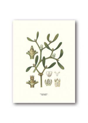 Botanical poster mistletoe