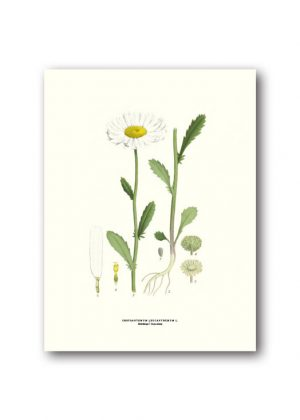 Botanical poster oxeye daisy