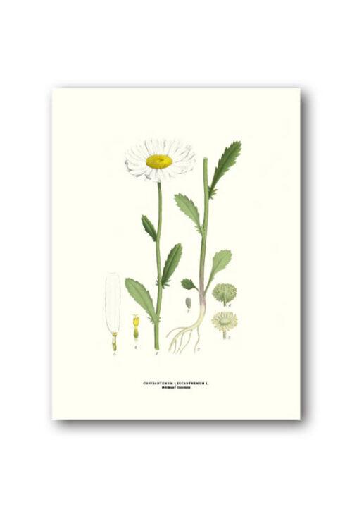 Botanisk affisch prästkrage