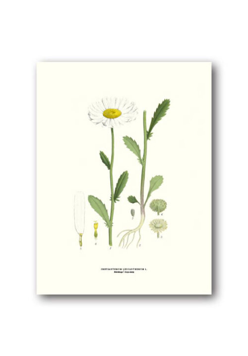 Botanical poster oxeye daisy