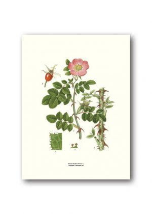 Botanical poster sweet briar rose