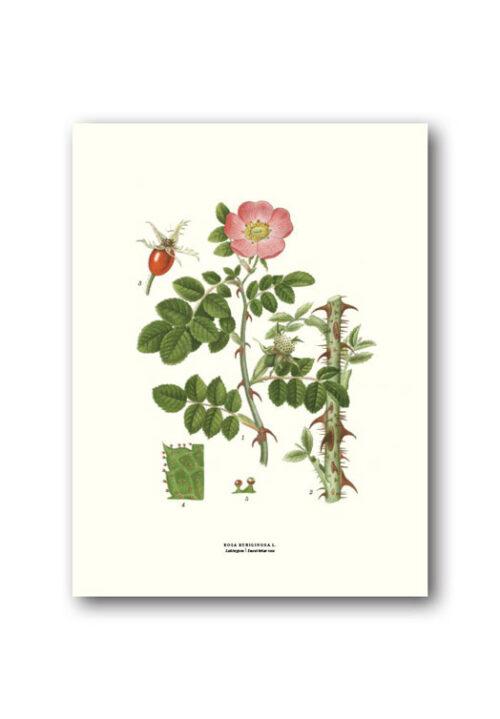 Botanical poster sweet briar rose