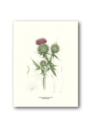 Botanical poster spear thistle