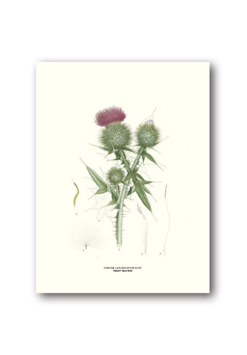 Botanical poster spear thistle