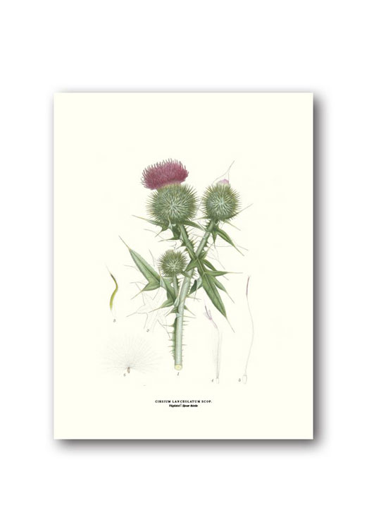 Botanische poster speerdistel