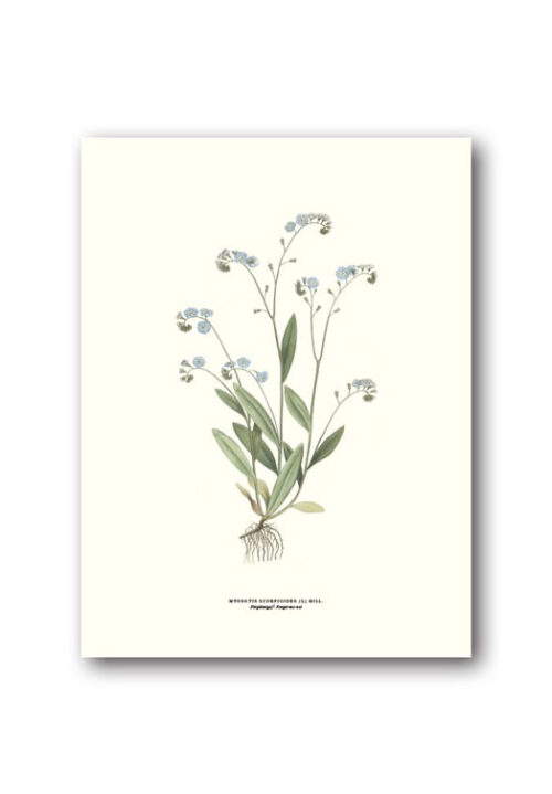 Botanical poster forget me not