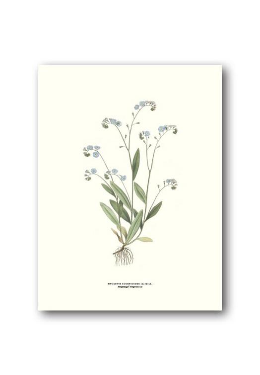 Botanische poster vergeet-me-nietje