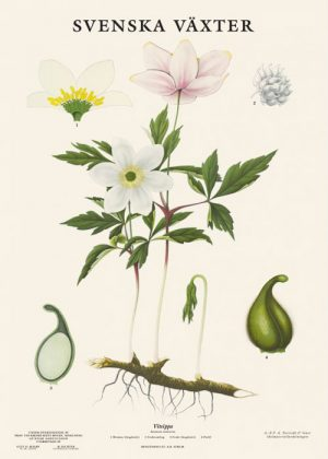Botanische Poster Bosanemoon Svenska Växter