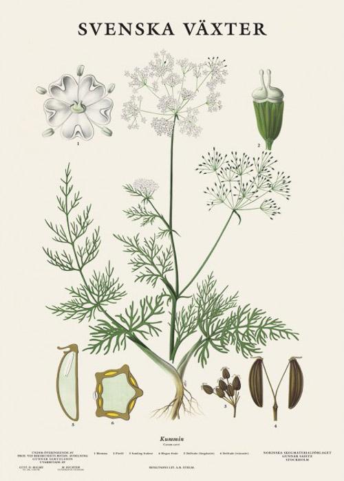 Botanische Poster Komijn Svenska Växter