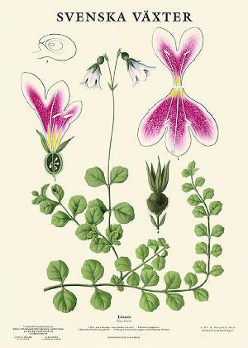 Botanische Poster Linnea Svenska Växter